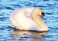Mute Swan(Cygnus olor) (jdathebowler Thanks for 4.5 Million + views.) Tags: muteswan cygnusolor swan waterbird ngc autofocus greatphotographers thebeautyofnature fantasticnature coth5