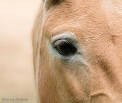 Przewalskipaard (Paul van Agthoven) Tags: holland canon zoom bokeh natuur ii zomer l usm lente dieren kleuren 100400 70d