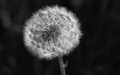 Dandelion (joeke pieters) Tags: flower blackwhite zwartwit dandelion seedhead bloem paardenbloem pluizenbol panasonicdmcfz150 1270264