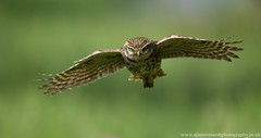 Little Owl in Flight (Alastair Marsh Photography) Tags: sun sunlight bird sunshine birds animal animals fly flying wildlife flight feathers feather owl britishwildlife owls birdsofprey birdofprey littleowl britishbirds britishbird littleowls britishanimals britishanimal