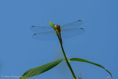 Yellow Dragonfly. Libellula gialla. (omar.flumignan) Tags: yellow canon insect eos dragonfly ngc 7d insetto libellula gialla ef100400f4556lisusm allnaturesparadise