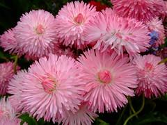Bellis perennis (yewchan) Tags: flowers flower nature colors beautiful beauty closeup garden flora colours gardening vibrant blossoms blooms lovely bellis bellisperennis englishdaisies doubledaisies