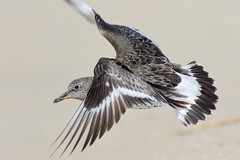 Surfbird (bmse) Tags: county orange canon flying l f56 salah 400mm surfbird wingsinmotion 7d2 bmse baazizi