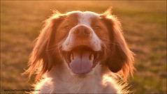 """19-52 """"halo"""" (Dave (d stop - the photon whisperer)) Tags: dog happy goldenhour backlighting brittanyspaniel rimlight 52weeksfordogs"""