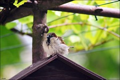 cock sparrow (franciska_bosnjak) Tags: bird nature nikon cottage sparrow d3100