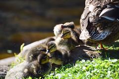 Cute newcomers (Maria Eklind) Tags: city nature water pond europe sweden outdoor ducks ankor damm malm slottsparken nder dunbollar