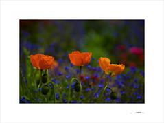 Printemps (E. Pardo) Tags: flowers flores primavera colors austria spring blumen colores steiermark admont farben frhling