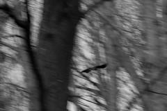 'Cause there's too many places I've got to see (Andre Santa Rosa) Tags: trees wild blackandwhite bw usa white ny black blur bird nature animals contrast high nikon wildlife natureza free sigma paz alfred vacations lightroom passaros csf 2016 observaao d3100