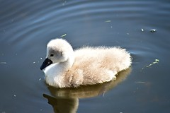 Cygnet (snappyslug) Tags: bird nature water birds swan nikon outdoor wildlife cygnet marshes rspb d3200