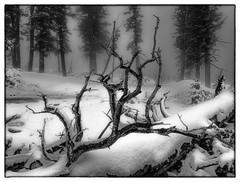 Winter in Bryce Canyon (Dennis Herzog) Tags: park trees winter blackandwhite snow monochrome weather fog utah parks bryce brycecanyon nationalparks brycecanyonnationalpark