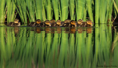 Grosse porte de 10! (Maxime Legare-Vezina) Tags: wild reflection bird nature water animal fauna canon duck spring wildlife oiseau canard faune biodiversite