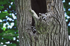New Backyard Residents (Hi-Fi Fotos) Tags: baby tree cute nature animals forest pups woods backyard nikon wildlife sigma newborn suburbs critters bandits pests racoons d5000 18250mm hallewell hififotos