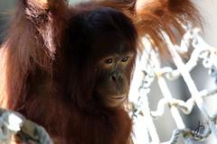 Lowry Park Zoo: Orangutan (Jasmine'sCamera) Tags: park animal animals tampa zoo orangutan lowry lowryparkzoo bornean borneanorangutan