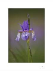 Lilien (E. Pardo) Tags: flowers light flores luz colors austria licht lily blumen colores steiermark farben lirios lilien