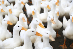 Attention!! (Go Go Janet) Tags: concentration serious flock adorable taiwan ducks flocktogether goodducks