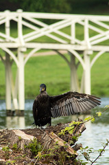He went that way (Graham Dash) Tags: birds cormorants surrey cobham painshillpark painshill