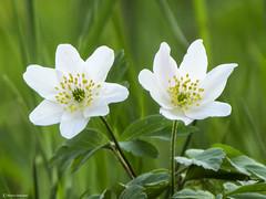 Anemone nemorosa (Marco Ottaviani on/off) Tags: flowers plants nature canon natura anemone fiori piante ranunculaceae anemonenemorosa marcoottaviani