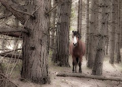 Narnia in Gower? - explore 24 May 2016 - thanks! (Jo Evans1 - computer on a glow slow - cach up with) Tags: pine forest feel pony narnia gower magical given whiteford
