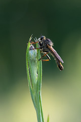 Fly Robber Fly (christinaobermaier) Tags: fly robber mordfliege raubfliege