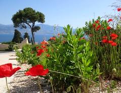 Makovi i Mosor - Poppies and Mosor (Hirike) Tags: croatia poppies hrvatska bra postira mosor makovi