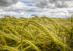 Cheshire landscape 02 HD jun 16 (Shaun the grime lover) Tags: field barley landscape countryside cheshire farm ears crop hdr daresbury