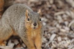 Squirrel, Morton Arboretum. 346 (EOS) (Mega-Magpie) Tags: usa cute nature america canon eos illinois squirrel wildlife dupage arboretum il morton lisle the 60d