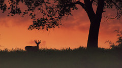 After the sunset (static_dynamic) Tags: sunset summer sky tree animal silhouette june evening outdoor fullmoon deer