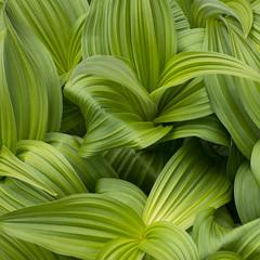 Emerging Corn Lily Leaves (mark willocks) Tags: canada leaves alberta banff lakelouise bigbeehive