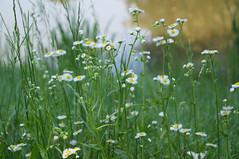 DSC07309.jpg (liangjinjian) Tags: usa flower geotagged maryland silverspring  glenallen alphaa55sony geo:lat=3905482667 geo:lon=7703805000
