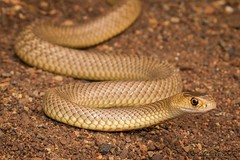 Eastern Brown Snake (Pseudonaja textilis) (ross.mcgibbon) Tags: easternbrown pseudonajatextilis elapidae squamata elapid snakes australiansnakes australia herping herpetologicalphotography snake serpent canon700d herpetology herpphotography wildlife fauna scales habitat reptile reptiles venomoussnakes species tail terrestrial nature conservation flora animals animal deserts sand beach sun sunset sky clouds northern southern eastern western red green blue yellow travel outback holiday photography canon wideangle macro slr lens camera photo image shot