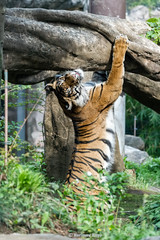 Manis   - I Feel So Good (Harimau Kayu (AKA Sumatra-Tiger)) Tags: portrait toronto animal cat wonderful asian zoo tokyo spain mr ueno sweet kali tiger beast bouy melancholy tijger carnivorous tigris tigre bigcats sumatran fuengirola manis hypnotic the spaniard  predetor uenozoologicalgardens flesheating amanandawoman  sumatratiger tygr tiikeri  unhommeetunefemme pantheratigrissumatrae sumatraansetijger rengat asiancat brytne tigredesumatra unuomounadonna  sumatrantiikeri harimausumatera   unhombreyunamujer sumatrakaplan tygrsumatersk tygryssumatrzaski  szumtraitigris       hsumatra  einmannundeinefrau enmanochenkvinna