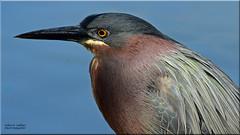 Green Heron (Explored) (Windows to Nature) Tags: greenie greenheron butoridesvirescens northpond