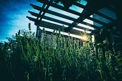 Lavender Blooms (DHaug) Tags: flowers sunset summer sun plant june yard lens prime ottawa lavender patio fragrant fujifilm bluehour pergola 2016 xpro2 xf16mmf14rwr