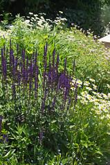 DSC07378.jpg (liangjinjian) Tags: usa flower geotagged maryland silverspring  glenallen alphaa55sony geo:lat=3905844833 geo:lon=7703491667
