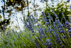 Forgiveness is the smell that lavender gives out when you tread on it - Mark Twain (DHaug) Tags: france canon french lavender getty summertime provence tread lavande var gettyimages marktwain tourettes presidentsclub fayence angiosperm ef35mmf14lusm lavandulaspica 5dmkii