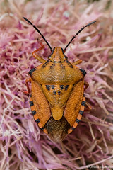Carpocoris sp. (Kolenati, 1846) (Christos Zoumides) Tags: eumetazoa arthropoda hexapoda insecta hemiptera heteroptera pentatomomorpha pentatomoidea pentatomidae pentatominae carpocorini carpocoris shieldbug shieldbackedbug animal insect truebug hummingbird bug europe mediterranean mediterraneanregion cyprus nicosia lefka nikon nikond750 nikon105mm macro macrodreams macrophotography macrosdenaturaleza macroexploration closeup nationalgeographicwildlife ngc nature field outdoor