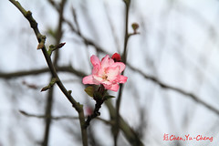 Cherry blossoms (~~ Y.C.CHEN) Tags: pink white plant black flower color tree nature beautiful canon bokeh 7d