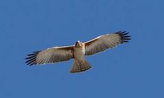 little eagle (Hieraaetus morphnoides)-4222 (rawshorty) Tags: birds australia canberra act rawshorty