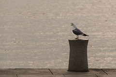SLN_1605383 (zamon69) Tags: animal bird djur fgel ms seagull vatten water malm skne sweden se