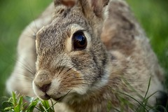 Daily visitor! (KWinters Photography) Tags: bunny nature animal closeup yard nikon flickr outdoor nikkor d7200