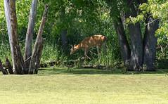 Captured Between The Trees (Ktach.us) Tags: nature nikon wildlife deer wetlands whitetail 70300 d7200