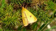 Clouded Buff Moth (Diacrisia sannio) (Nick Dobbs) Tags: insect butterfly moth clouded buff diacrisia sannio heath heathland dorset erebidae arctiinae
