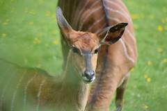 Nyala (WarmYeti) Tags: nature animal outside outdoors zoo scotland edinburgh nyala edinburghzoo