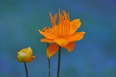 Trollius chinensis also known as Golden Queen or Globeflower (natureloving) Tags: macro nature nikon globeflower d90 afsvrmicronikkor105mmf28gifed goldenqueen trolliuschinensis natureloving flowersinfrance flowersineurope fleursenfrance