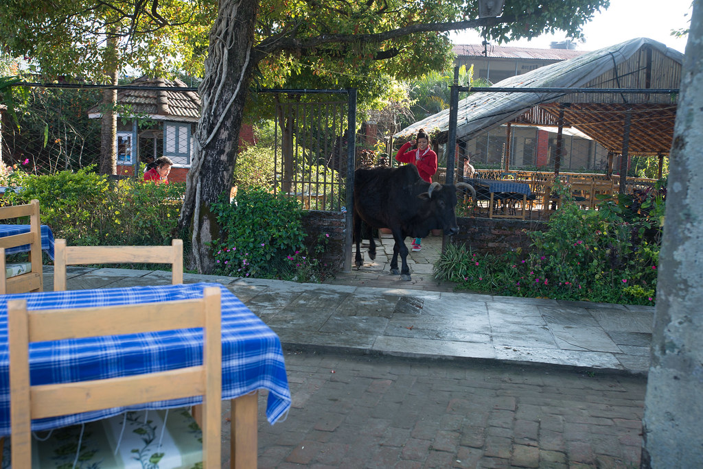 Just a cow in a restraunt
