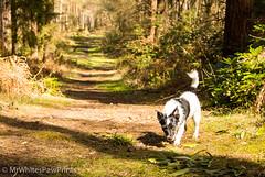 Bepton Woods, Midhurst, W Sussex (Mr Whites Paw Prints) Tags: trees sunlight woodland woods jackrussell midhurst nibbler beptonwoods
