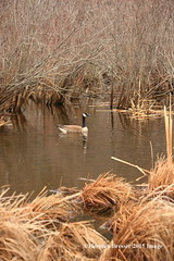 Moving In (Herman Bresser:) Tags: lake water swimming reeds pond peaceful goose single marsh solitary canadagoose nesting singleobject peacefulmood