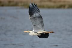 Grey. (stonefaction) Tags: heron nature birds grey scotland fife wildlife pools letham explored
