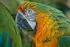 Macaw (Gaby Swanson, Photographer) Tags: