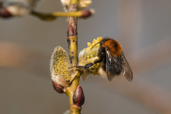 Bee-3844 (WendyCoops224) Tags: sunshine yellow canon eos bee willow feed signsofspring 70d 100400mml localbirdswildlife ©wendycooper